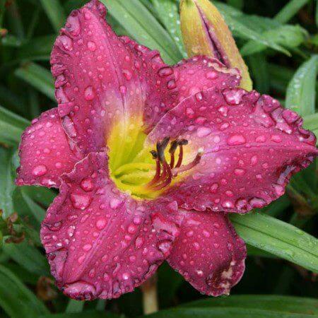 Oakes-Daylilies-Apollodorus-daylily-003