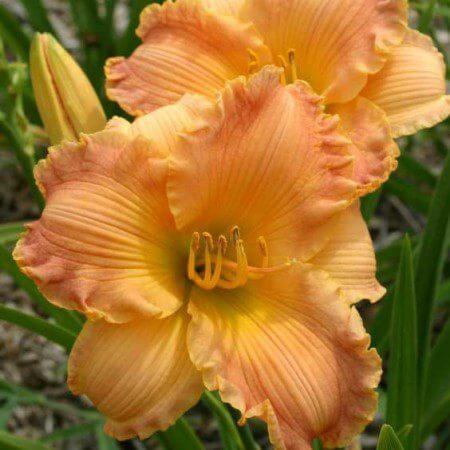 Oakes-Daylilies-Autumn-Wood-daylily-002
