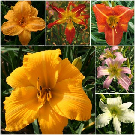 2015 Huge Blooms Collection