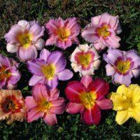 Select Mixed Daylilies