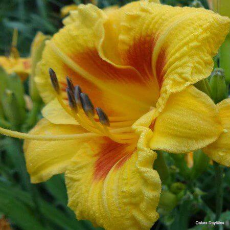 Oakes-Daylilies-Black-Eyed-Stella-daylily-002