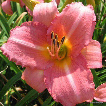 Oakes-Daylilies-Cedar-Waxwing-daylily-001