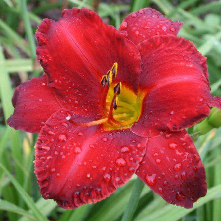 Oakes-Daylilies-Chicago-Apache-daylily-007