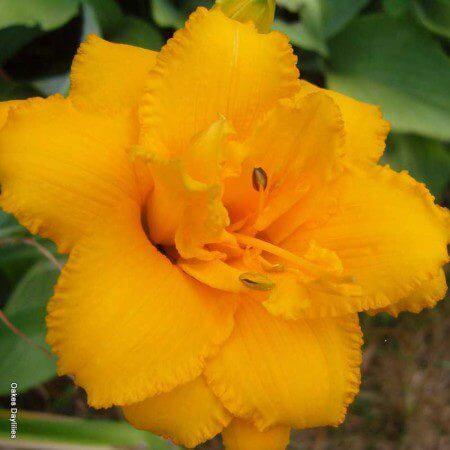 Oakes-Daylilies-Condilla-daylily-002