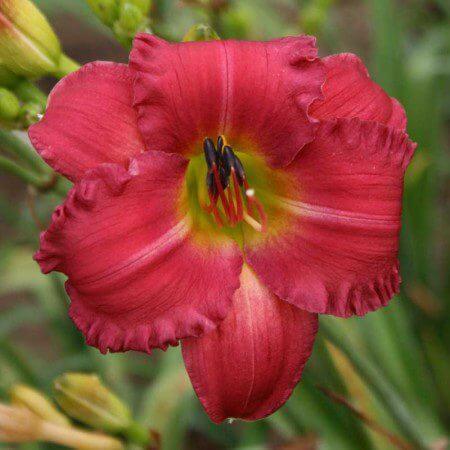 Oakes-Daylilies-Earlybird-Cardinal-daylily-001