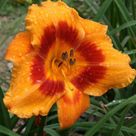 Oakes-Daylilies-Eye-Yi-Yi-daylily-005