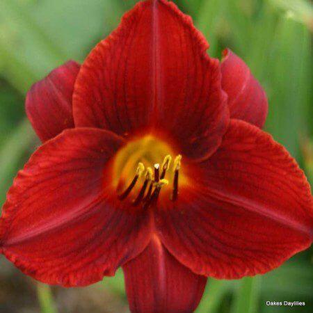 Oakes-Daylilies-Frankly-Scarlet-daylily-002