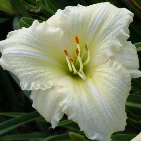 Oakes-Daylilies-Joan-Senior-daylily
