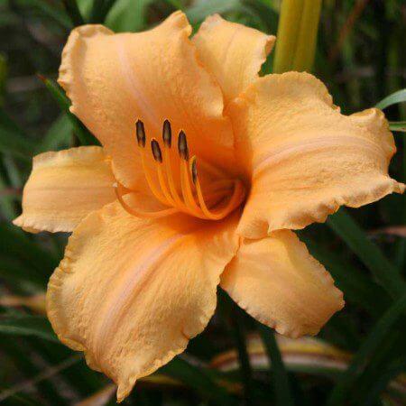 Oakes-Daylilies-Lady-Georgia-daylily-002