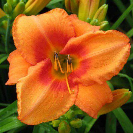 Oakes-Daylilies-Leebea-Orange-Crush-daylily-002
