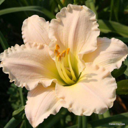 Oakes-Daylilies-Lullaby-Baby-daylily-001