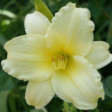 Oakes-Daylilies-Miss-Amelia-daylily-002