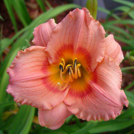 Oakes-Daylilies-Miss-Tinkerbell-daylily-005