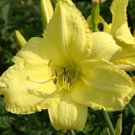 Oakes-Daylilies-Northfield-daylily-004