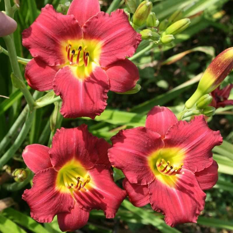 PARDON ME - Oakes Daylilies