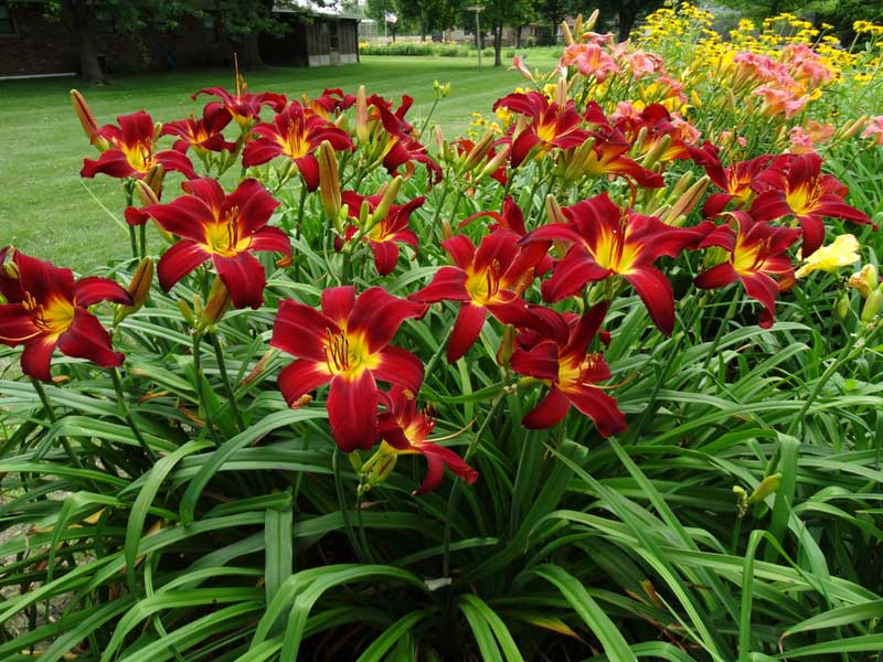 Image result for daylilies