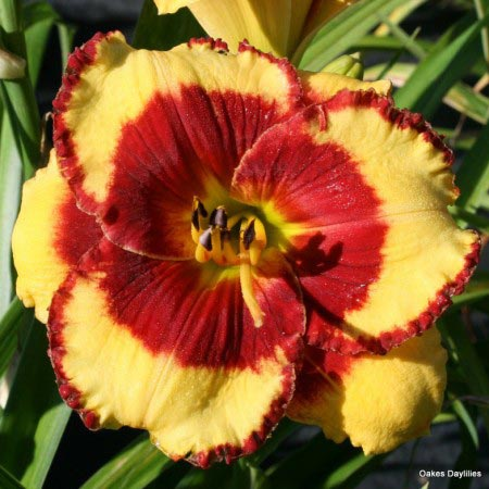 Paco-Bell-daylily-oakes