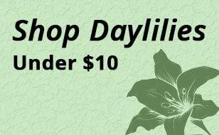 shopdaylilies