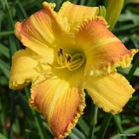 yellow and rust bicolor with ruffled edge