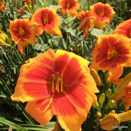 daylilies-backdraft-perennials-oakes-daylilies