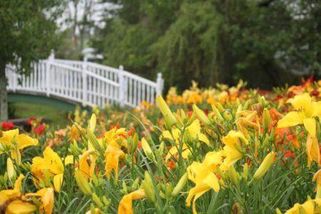 yellow-daylilies-oakes-daylilies