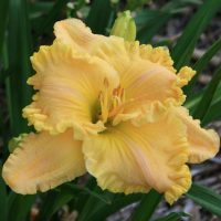 better-than-butter-oakes-daylilies