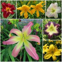 Jumbo Daylily Collection 2020