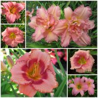 Pink daylily collection 2020