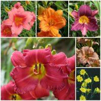 Rebloom daylily collection 2020 v2