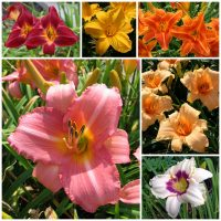 Best sellers daylily collection 2020