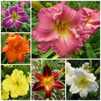customer favorites daylily collection 2020