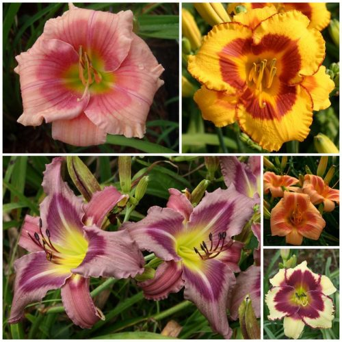 Eyed Daylily Collection 2020