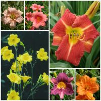 collection of reblooming daylilies