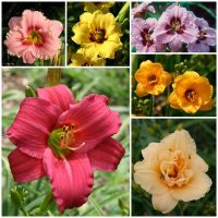 Miniature daylily collection 2020