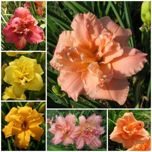 Double daylily collection 2020