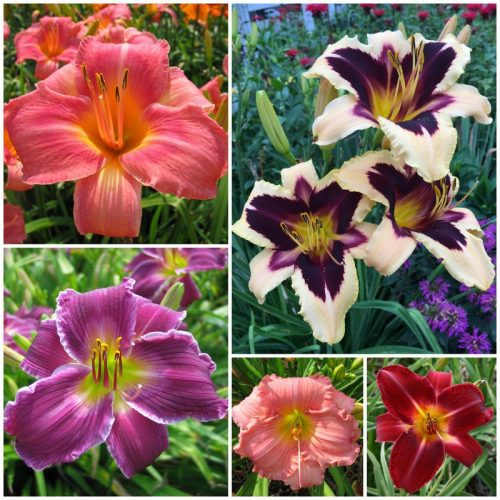 Most photogenic daylily collection 2020