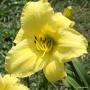 Oakes-Daylilies-Frozen-Jade-daylily-004