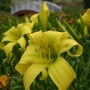 Oakes-Daylilies-Chester-Cyclone-daylily