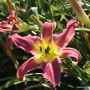 Oakes-Daylilies-Mighty-Highty-Tighty-003