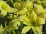 Oakes-Daylilies-Lemon-Vista