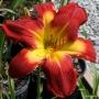 Oakes-Daylilies-Wispy-Rays-daylily-005