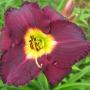 Oakes-Daylilies-Bela-Lugosi-daylily-003