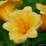 Oakes-Daylilies-Stella-De-Oro-daylily