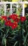 Oakes-Daylilies-Frankly-Scarlet-daylily-004