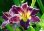 Oakes-Daylilies-Indian-Giver-daylily-001