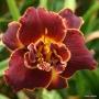 Oakes-Daylilies-Night-Embers-daylily-001