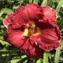 Oakes-Daylilies-Hot-Gossip-daylily