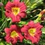 Oakes-Daylilies-Pardon-Me-daylily