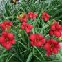 Oakes-Daylilies-Madame-Ruby-002