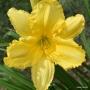 Oakes-Daylilies-Siloam-Space-Age-daylily